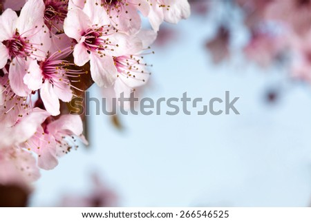 Spring pink cherry blossom on blue background - stock photo