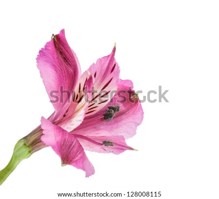 Spring pink flowers isolated on white background