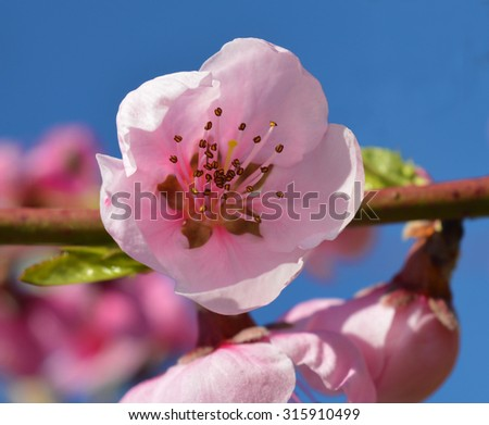 Spring pink flowers on blue background - stock photo