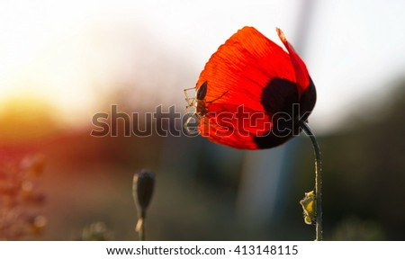 spring poppy with the spider - stock photo