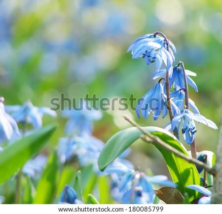 spring primrose - stock photo