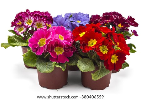 Spring primroses flowers, primula polyanthus in a flowerpot isolated on white background - stock photo