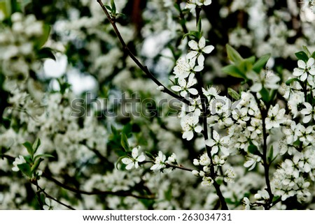 Spring, profusely blooming sprig of wild plum - stock photo