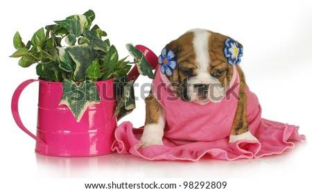 spring puppy - female english bulldog puppy sitting beside watering can of ivy 7.5 weeks old - stock photo