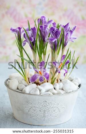 Spring purple crocus flowers - stock photo