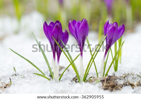 Spring purple crocuses on the snow