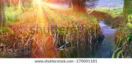 Spring rare flowers - beautiful snowdrop bloom in March in alpine coniferous and deciduous forests on the background of wild creeks swamps lakes Carpathian Transcarpathian Ukraine after the snow melts - stock photo