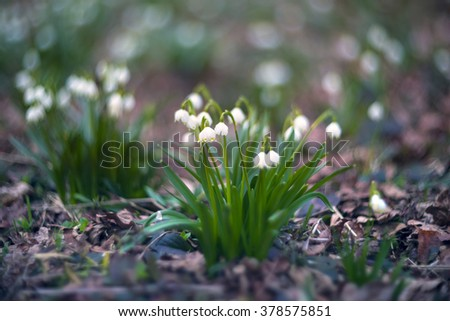 Spring rare flowers beautiful snowdrop bloom in March in alpine coniferous and deciduous forests on the background of wild creeks swamps lakes Carpathian Transcarpathian Ukraine after the snow melts - stock photo
