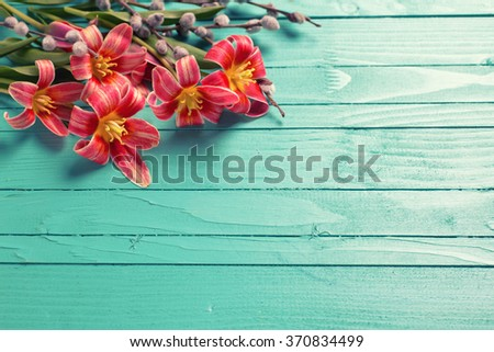 Spring red tulips  flowers, willow branches  on green painted wooden planks. Selective focus. Place for text. Toned image. - stock photo