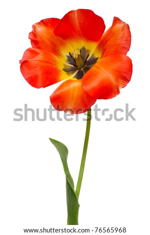 Spring red tulips isolated on white - stock photo