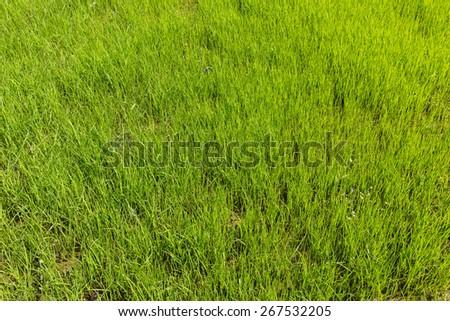 Spring rice field near the Nepalish sity Pokhara - stock photo