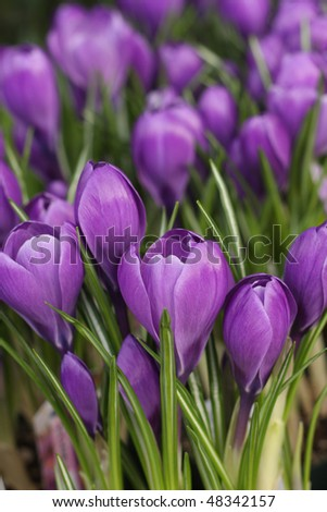 spring's first crocus flowers - stock photo