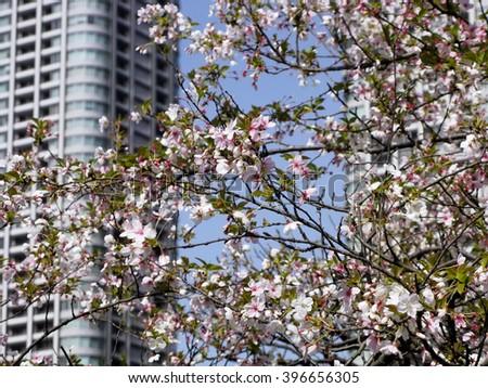 Spring sakura blossom in the beautiful capital of Japan - Tokyo - stock photo