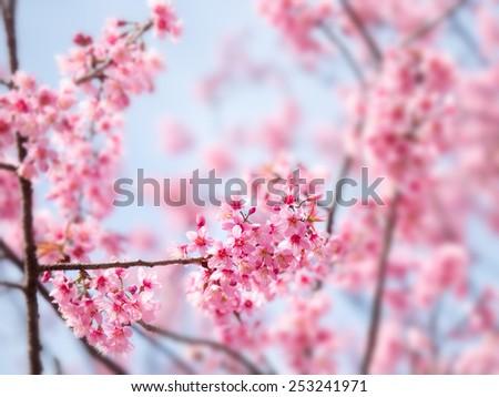 Spring Sakura Cherry Blossom - stock photo