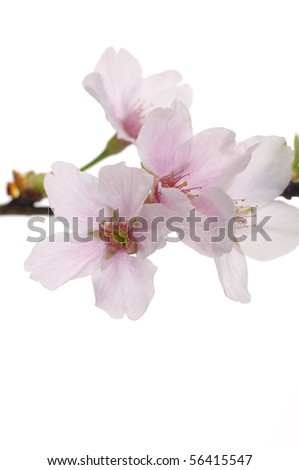 Spring sakura flower on white - stock photo