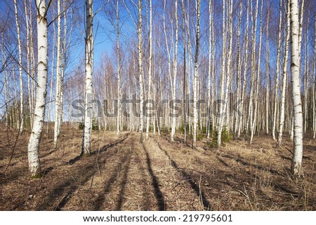 spring scene with birch trees
