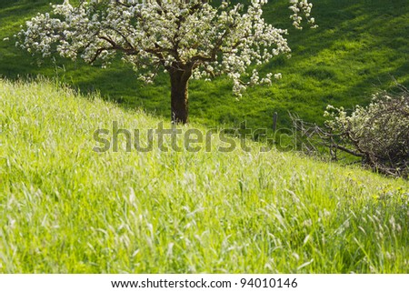 Spring scenery - flowering apple tree and green meadow. - stock photo