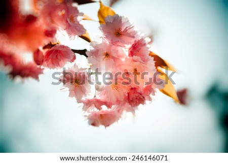 Spring scenic floral  background composition with Sakura blossom branch - stock photo