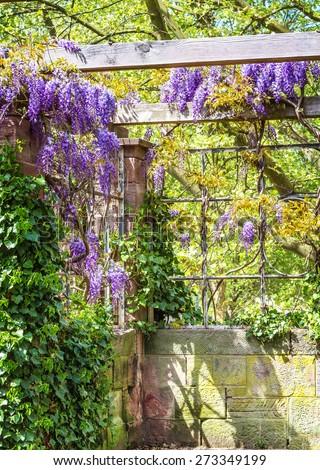 Spring season. Japanese wisteria flowers. - stock photo