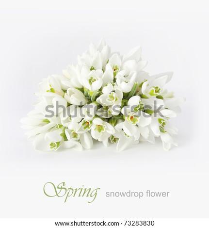 spring snowdrop flower - stock photo