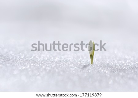 Spring snowdrop flower with snow - with perfect macro details and blurred background  - stock photo