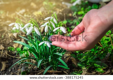 Spring snowdrop flowers blooming in sunny day. closeup fingers girl touching flowers - stock photo
