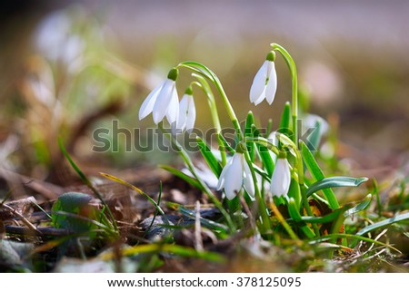 Spring snowdrop flowers blooming in sunny day. Shallow depth of field - stock photo