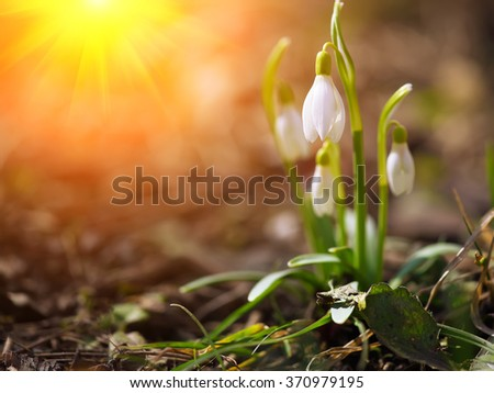 Spring snowdrop flowers blooming in sunny day. Shallow depth of field. Sunset - stock photo