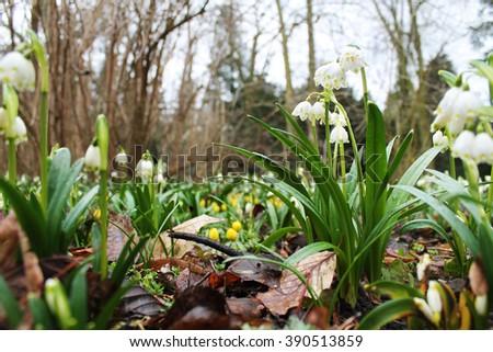 spring snowflake flowers - stock photo