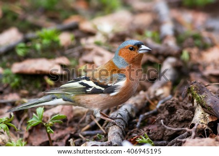 Spring songbird chaffinch sitting on the ground - stock photo