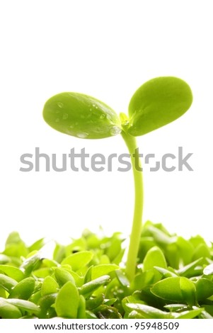 Spring sprout on white background - stock photo