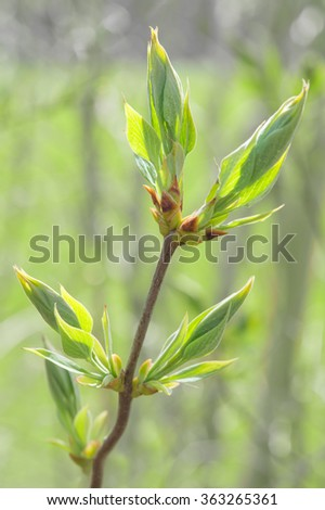 Spring sprouting branch with blooming buds and new fresh leaves. Stock photo with shallow DOF and selective focus point. - stock photo