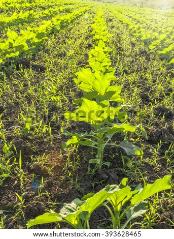 Spring sprouts of a sunflower in the field backlit, close-up - stock photo