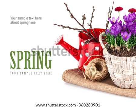 Spring still life with flowers crocus and branch tree. Isolated on white background - stock photo