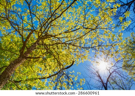 Spring Summer Sun Shining Through Canopy Of Tall Trees. Sunlight In Deciduous Forest, Summer Nature, Sunny Day. Upper Branches Of Tree With Fresh Green Foliage. Low Angle View. Woods Background - stock photo