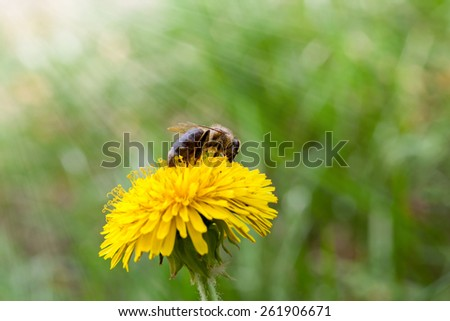 Spring sun beams on honeybee (Apis mellifera) pollen dandelion flower - stock photo