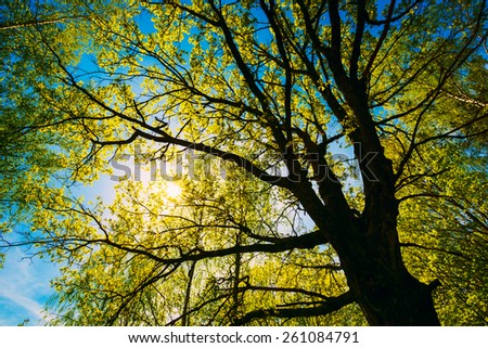 Spring Sun Shining Through Canopy Of Tall Oak Trees. Upper Branches Of Tree. Sunlight Through Green Tree Crown - Low Angle View. - stock photo