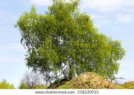 Spring, sunny morning under a blue cloudless sky lush birch on the hill in the green foliage - stock photo