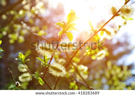 Spring sunny natural landscape - yellow fluffy buds of willow under bright spring sunlight. Selective focus at the central buds. Shallow depth of field.  - stock photo