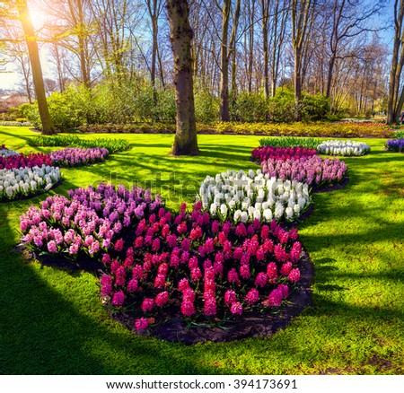 Spring sunrise in Keukenhof gardens. Beautiful outdoor scenery with blooming hyacinth flowers in Netherlands, Europe. Wide angle view, squared composition. - stock photo