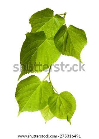 Spring tilia leafs isolated on white background - stock photo