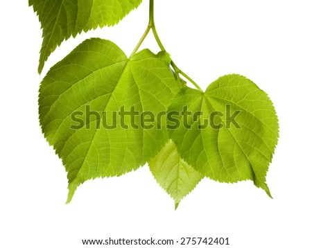 Spring tilia leafs isolated on white background - stock photo