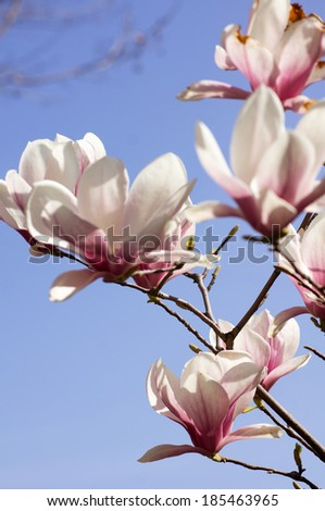 Spring time, blooming of magnolia tree in a garden