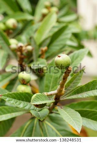 spring time: fruits of medlar plant in the garden - stock photo