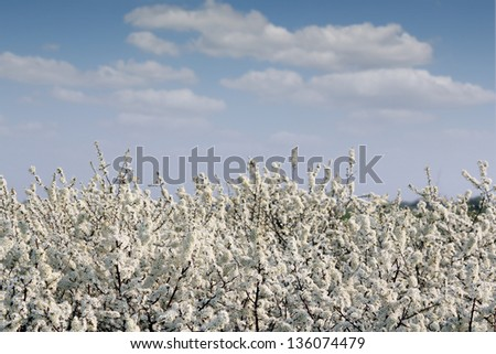 spring tree branches with flowers and blue sky