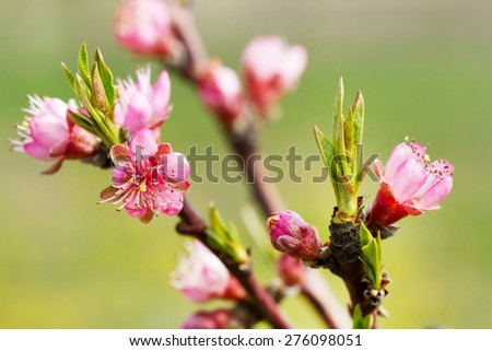 Spring tree pink flowers  - stock photo