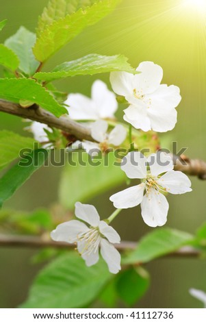spring tree with flowers - stock photo