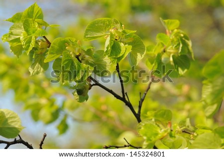 Spring  tree with fresh green leaves