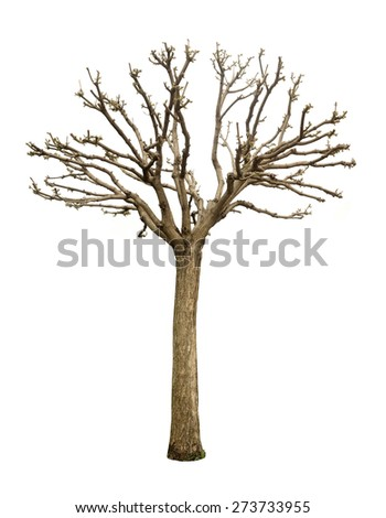 Spring tree without leaves isolated on white background. May be used as tree pruning illustration. - stock photo