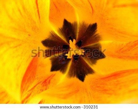 Spring tulip flower closeup shot